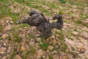 Very old dry grown Tempranillo. Photo : Milton Wordley