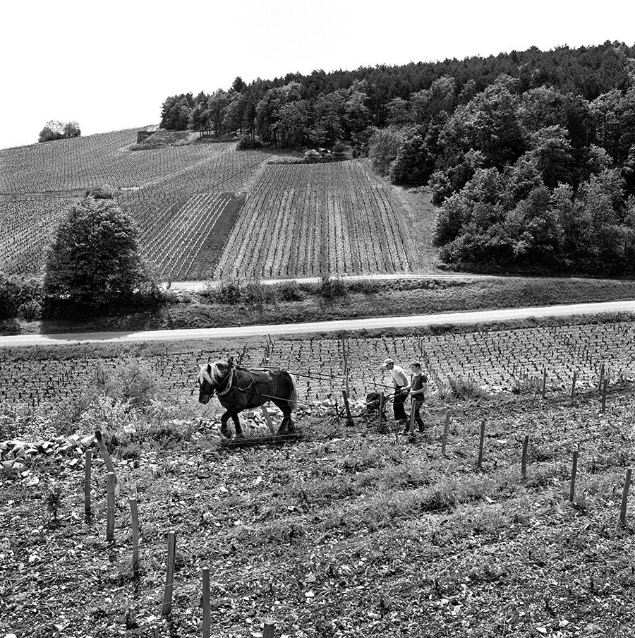Ploughing the vines at Vosne-Romanee : Photo Milton Wordley