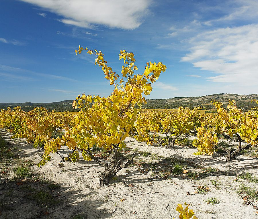Bush vines in the Yangarra ' High Sand ' block. Photo :  MIlton Wordley