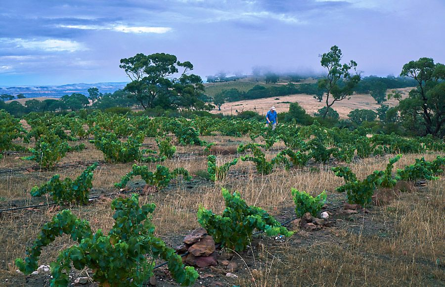 Michael walks the new 'Mattchoss Vineyard' Grenache plantings at 504 metres in the Eden Valley : Photo © Milton Wordley