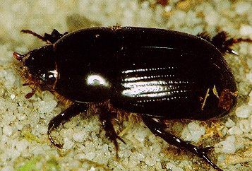 The African black beetle. Agriculture © Western Australia.