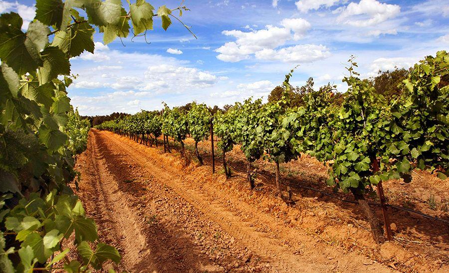 The Braemore vineyard. Photo supplied.