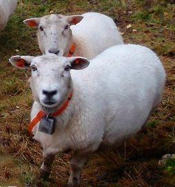 Bellwether sheep.