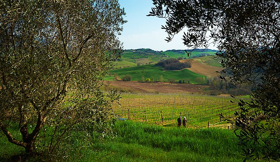 Alison Jane Hodder's 'De Vinosalvo wines' shiraz / sangiovese vineyard in Tuscany, one of Gill's favorite regions : Photo © Milton Wordey.