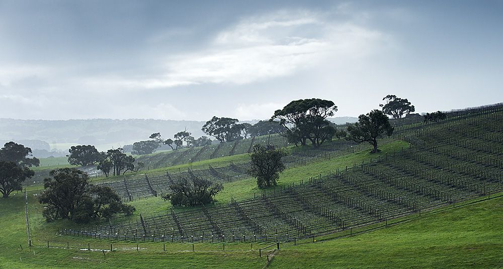 The Foggy Hill vineyard : Photo © Milton Wordley.