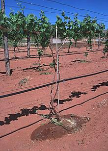 Drip irrigation : Photo Wikipedia.